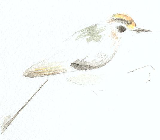 http://www.archive-host2.com/membres/images/1336321151/bestioles/oiseaux/roitelet/roitelettriplebandeau_aqua.jpg