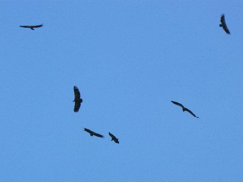 http://www.archive-host2.com/membres/images/1336321151/bestioles/oiseaux/vautours/v0.jpg
