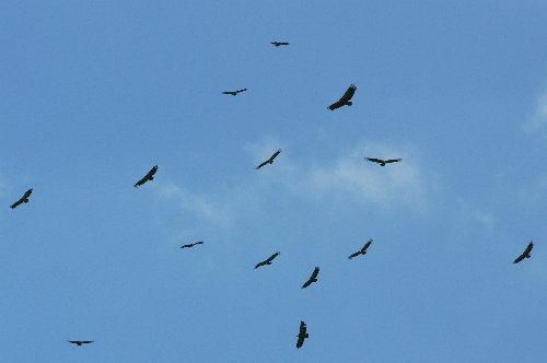 http://www.archive-host2.com/membres/images/1336321151/bestioles/oiseaux/vautours/v1.jpg