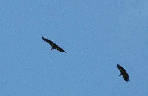 http://www.archive-host2.com/membres/images/1336321151/bestioles/oiseaux/vautours/v2.jpg