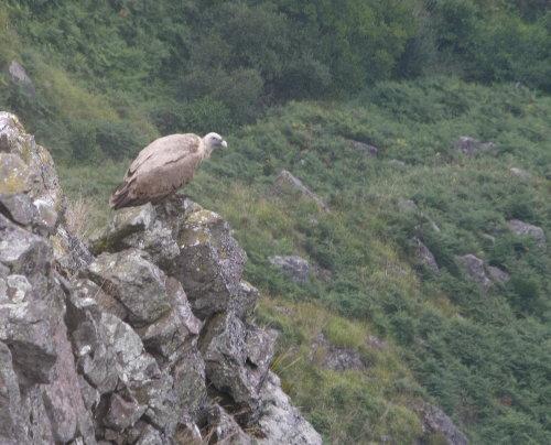 http://www.archive-host2.com/membres/images/1336321151/bestioles/oiseaux/vautours/v3.jpg