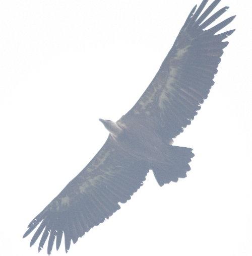 http://www.archive-host2.com/membres/images/1336321151/bestioles/oiseaux/vautours/v5.jpg