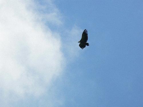 http://www.archive-host2.com/membres/images/1336321151/bestioles/oiseaux/vautours/v8.jpg