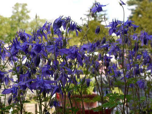 http://www.archive-host2.com/membres/images/1336321151/fleurs/Colombines/alpina.jpg