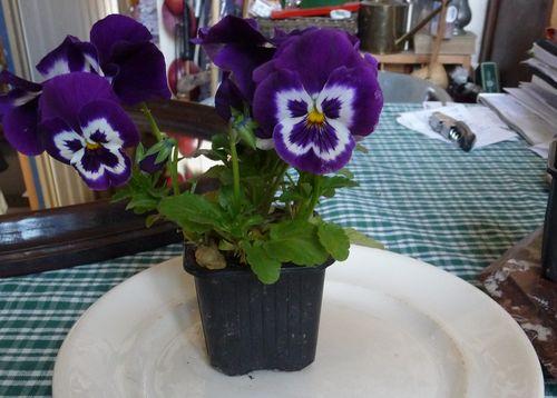 http://www.archive-host2.com/membres/images/1336321151/fleurs/Violas/A5/p-2.jpg