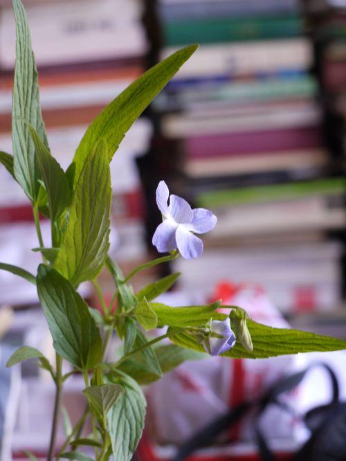 http://www.archive-host2.com/membres/images/1336321151/fleurs/Violas/elatior/Ve0-0.jpg