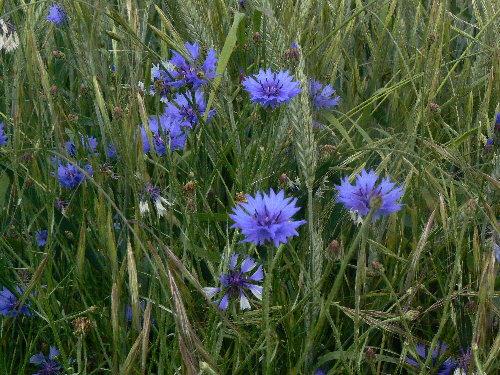 http://www.archive-host2.com/membres/images/1336321151/fleurs/bleuets/mareauJPG.jpg
