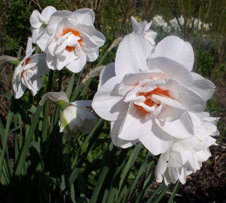 http://www.archive-host2.com/membres/images/1336321151/fleurs/narcisses/acropolis.jpg
