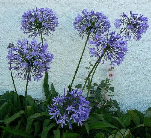 http://www.archive-host2.com/membres/images/1336321151/fleurs/passerose/aga.jpg