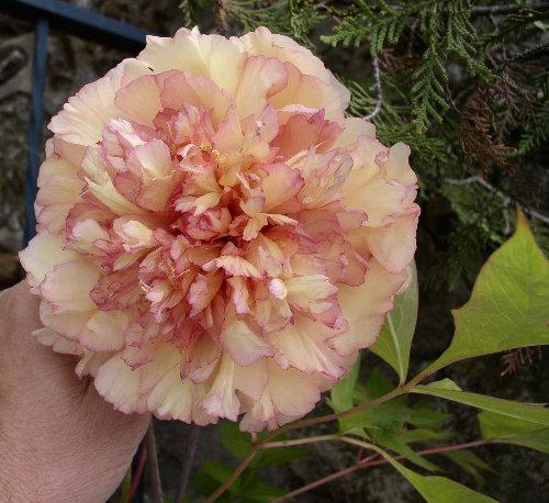 http://www.archive-host2.com/membres/images/1336321151/fleurs/pivoines/cornu/mc_0_fleur.jpg