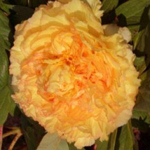 http://www.archive-host2.com/membres/images/1336321151/fleurs/pivoines/cornu/mc_0_souv_0.jpg