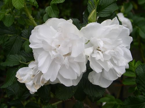 http://www.archive-host2.com/membres/images/1336321151/fleurs/roses/Blanc_double/BddC_lhay-2.jpg