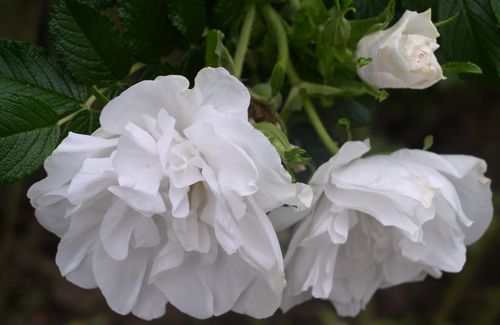 http://www.archive-host2.com/membres/images/1336321151/fleurs/roses/Blanc_double/BddC_lhay-3.jpg