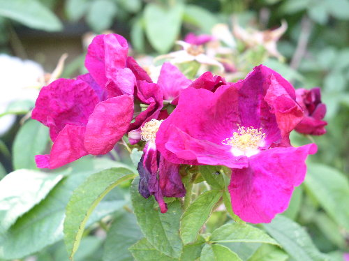 http://www.archive-host2.com/membres/images/1336321151/fleurs/roses/Carmen/Carmen_lhay.jpg