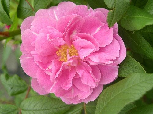 http://www.archive-host2.com/membres/images/1336321151/fleurs/roses/bugnet/thb.jpg