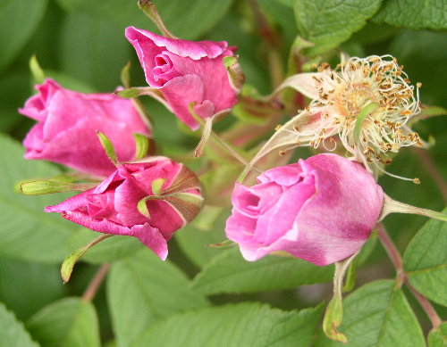http://www.archive-host2.com/membres/images/1336321151/fleurs/roses/bugnet/thb_lbouton.jpg