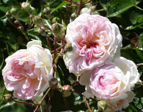 http://www.archive-host2.com/membres/images/1336321151/fleurs/roses/jacotte/bouquet.jpg