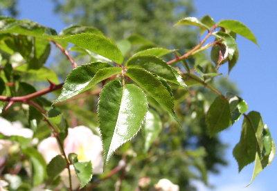 http://www.archive-host2.com/membres/images/1336321151/fleurs/roses/jacotte/feuiile.jpg