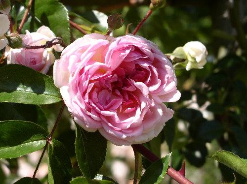 http://www.archive-host2.com/membres/images/1336321151/fleurs/roses/jacotte/fleur_107.jpg