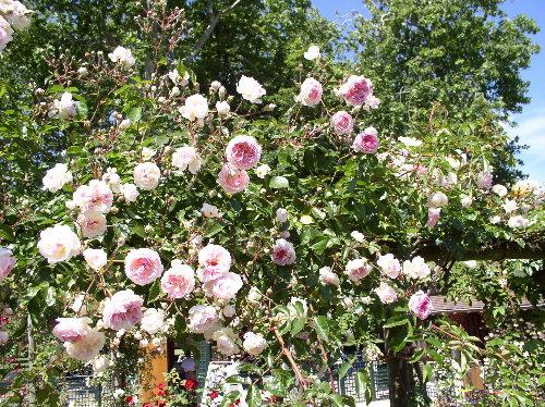 http://www.archive-host2.com/membres/images/1336321151/fleurs/roses/jacotte/jacotte.jpg