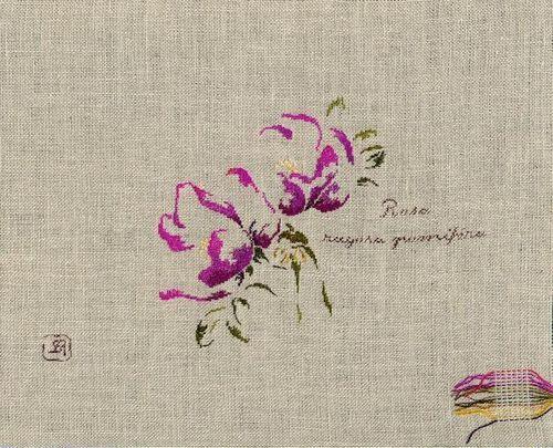 http://www.archive-host2.com/membres/images/1336321151/fleurs/roses/pomifera/rugosa_pomifera-B.jpg