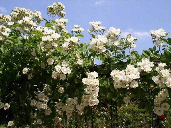 http://www.archive-host2.com/membres/images/1336321151/fleurs/roses/thalia/thalia.jpg