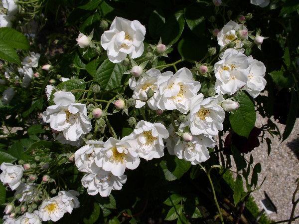 http://www.archive-host2.com/membres/images/1336321151/fleurs/roses/thalia/thalia_b.jpg