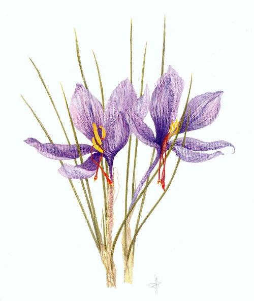 http://www.archive-host2.com/membres/images/1336321151/fleurs/safran/sB_aqua_43.jpg